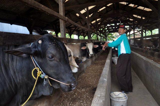 Parjono dan 'show room' sapi miliknya (teraslampung/oyosshn)