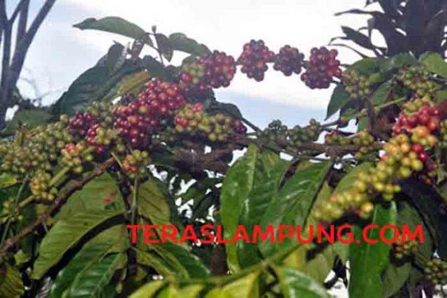 Kopi di kebun Desa Tribudi Syukur Kabupaten Lampunhg Barat.