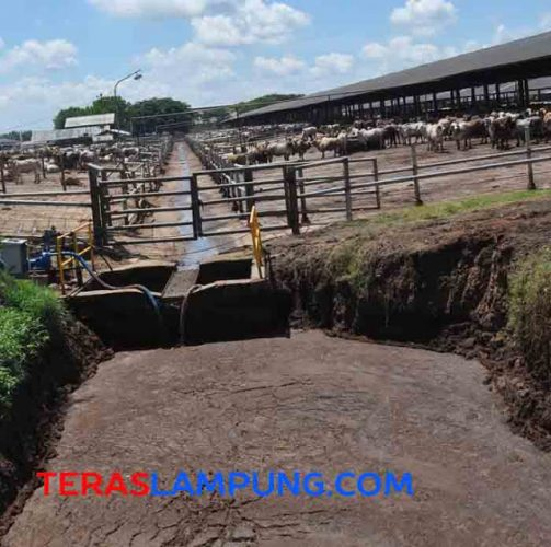 Kotoran sapi dialirkan ke bank penampungan, kemudian dialirkan dengan pipa ke bak penyaringan dan dimasukkan ke 'septic tank' raksasa. (Foto: Oyos Saroso HN).