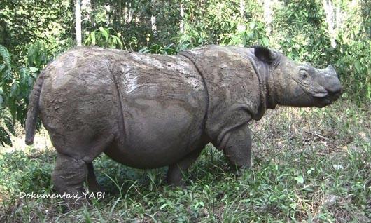 Ratu, badak Sumatera penghuni Suaka Rhino Sumatera (SRS) di Taman Nasional Way Kambas, Lampung Tmur. (Foto: dok Yayasan Badak Indonesia)