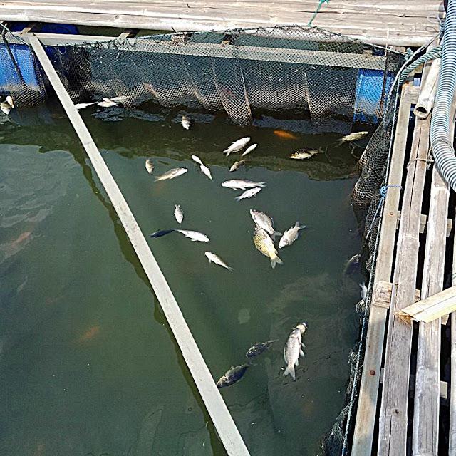 Ikan mas mati di keramba petani ikan di Kecamatan Abung Pekurun, Lampung Utara