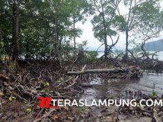 Beberapa batang pohon mangrove di Pulau Pahawang yang ditebang oleh anggota DPRD Pesawaran pemilik tanah yang berbatasan dengan pantai Pulau Pahawang.