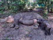 Bayi badak yang baru dilahirkan badan betina bernama Ratu sedang menyusu pada induknya di Suaka Rinho Sumatera (SRS). Foto: Yayasn Badak Indnesia