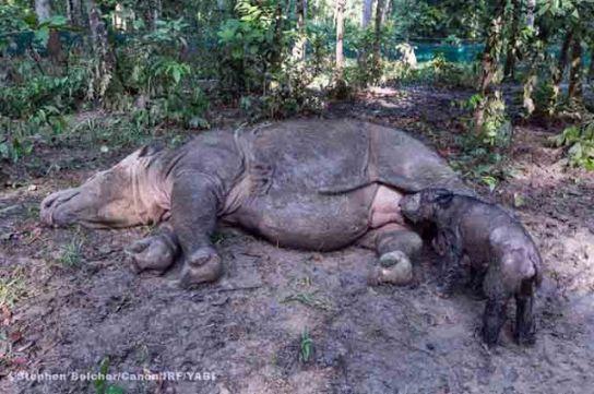 Hore! Ratu, Badak Betina Penghuni SRS Taman Nasional Way Kambas Lahirkan Anak Kedua