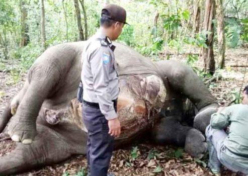 Gajah Betina Taman Nasional Way Kambas Ditemukan Mati dengan Lima Luka Tembak