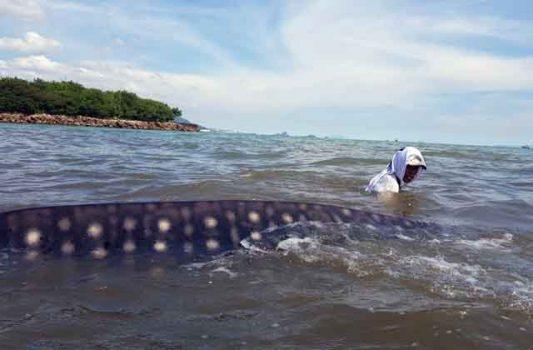 Nelayan Sukaraja Selamatkan Hiu Raksasa yang Terdampar di Tepi Pantai