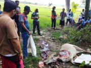 Seekor sapi warga yang dicuri dan disembelih komplotan sepeslias pencurian ternak di areal persawahan di Pesisir Selatan, Lampung Barat. (Foto : Humas Polres Lambar)