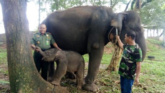 Bunga, Induk Gajah PLG Taman Nasional Way Kambas Melahirkan