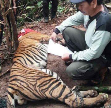 Luka Parah karena Terjerat, Kaki Harimau Sumatera Ini Diamputasi