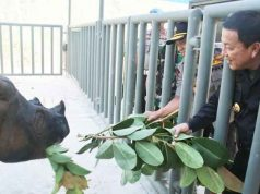 Gubernur Lampung Arinal Djunaidi memberi makan badak usai peresmian Suaka Rhino Sumatera (SRS) II di Taman Nasional Way Kambas, Lampung Timur, Rabu (30/10/2019).