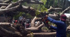 Pohon kedondong tumbang menimpa warga di Jalan Tulung Buyut, Kelurahan Bakung, Kecamatan Telukbetung Barat, Kota Bandarlampung, Minggu siang, 2 November 2019. Foto: BPBD Bandarlampung