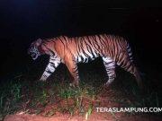 Harimau Sumatera tertangkap kamera di Talang 11 kawasan Taman Nasional Bukit Barisan Selatan (TNBBS) Maret 2009. (Foto: dok WCS)