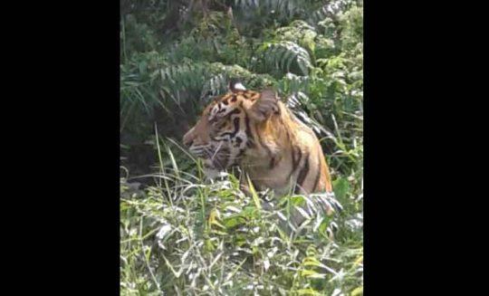 Lagi, Warga Muara Enim Tewas Dimangsa Harimau