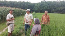 Plt Dinas Pertanian Tanaman Pangan Holtikultura dan Perkebunan Lampung Selatan, Bibit Purwanto (tengah bertopi) saat mengecek lokasi lahan pertanian di Desa Sidoharjo, Kecataman Way Panji, Lampung Selatan yang menjadi tempat didatangi ribuan belalang kembara, Sabtu (29/2/2020) siang