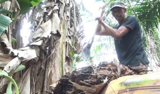 Sukamto tengah mengambil bonggol pisang jenis kepok di pekarangan rumahnya di Dusun Pujirahayu RT 02 Desa Pujirahayu, Kecamatan Merbau Mataram, Lampung Selatan dengan cara digali menggunakan alat berupa linggis besar (dodos).