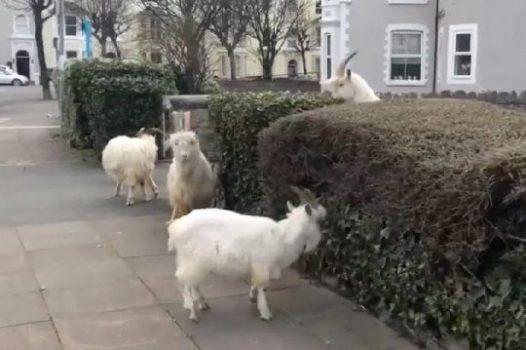 Kawanan kambing 'mengambil alih' Inggris saat negara itu lockdown. Sumber: mirror.co.uk/Andrew Stuart/Twitter