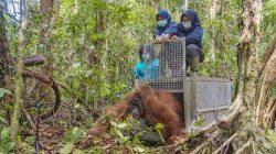 Terjebak di Kebun Warga, Seekor Orangutan Ditranslokasikan ke Taman Nasional Gunung Palung