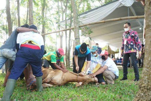 Penyembelihan hewan kurban di halaman belakang Gedung Rektorat Unila, Kamis (21/7/2021).