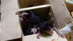 Bayi monyet hendak diselundupkan dari Sumatera ke Pulau Jawa.